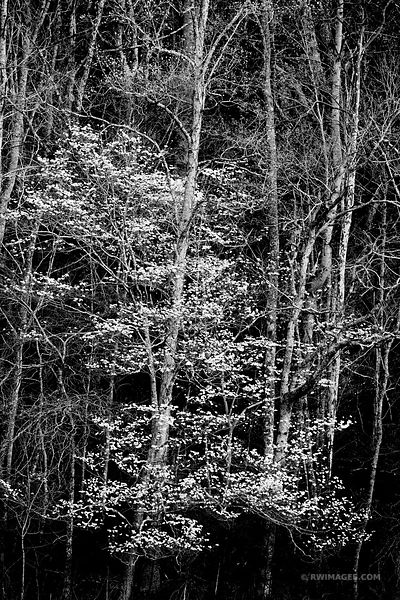 FOREST AND FLOWERING DOGWOOD SPRING SMOKY MOUNTAINS BLACK AND WHITE VERTICAL