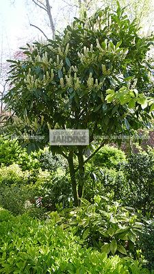 la phototh que les plus beaux jardins prunus laurocerasus l laurier cerise laurier amande. Black Bedroom Furniture Sets. Home Design Ideas
