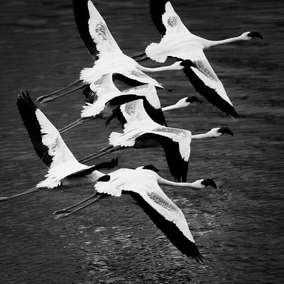 7427-Bird-Flamingos_Laurent_Baheux