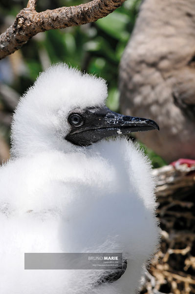 Red-footed booby (sula sula)