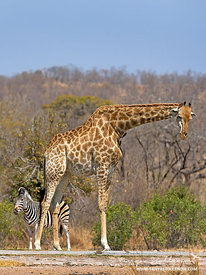 Giraffe and zebra at a pan in South Africa