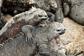 A pair of marine iguanas lay together on the Fernandian Islands.