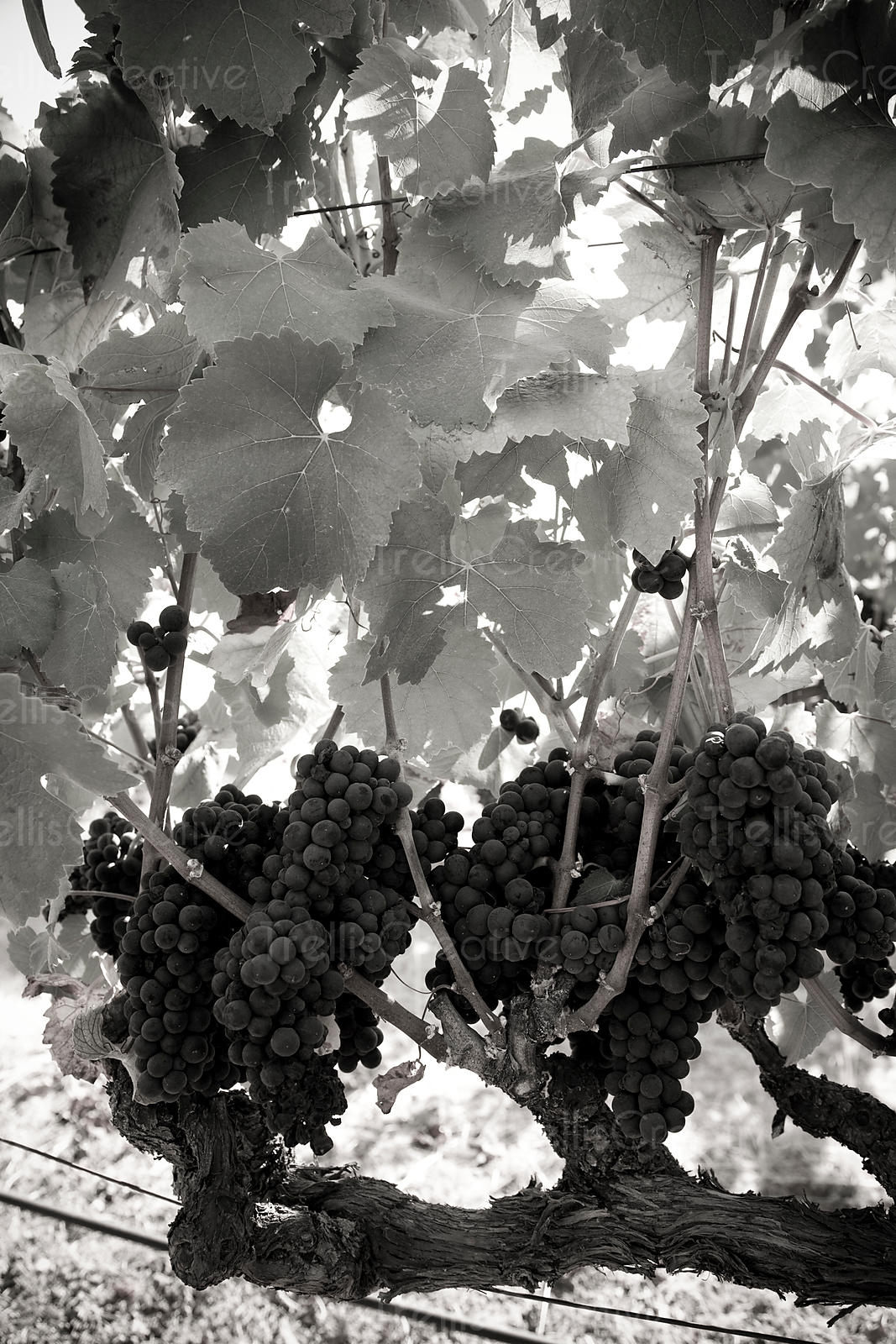 Clusters of ripe pinot noir grapes on the vine