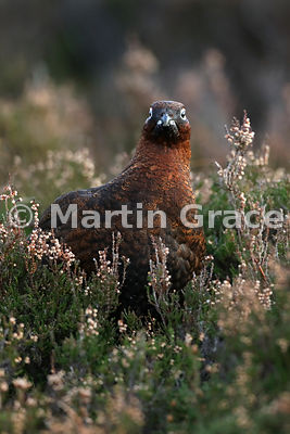 Red Grouse (Lagopus lagopus scotica) in Heather (Ling) (Calluna vulgaris), early January, Lochindorb, Scottish Highlands
