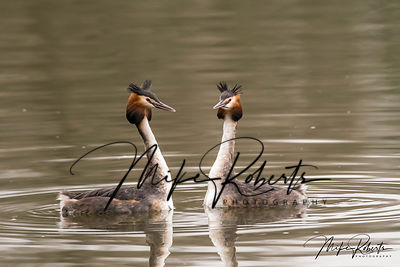 Grebe Gallery photos