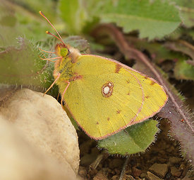 Colias species, at Lake Venuela, Andalusia, Spain
