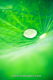 water dew on lotus leaf, spiritual background