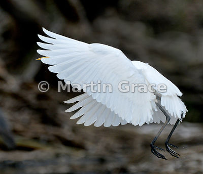 Little Egret (Egretta garzetta) in flight, River Chobe, Botswana