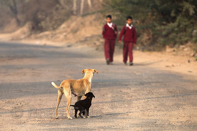 Boys walk to school in the morning as a street dog mom and pup bark at them, probably hoping for some food, Aaram Baagh, Rajasthan, India