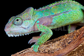 Bradypodion damanarum, Knysne dwarf chameleon, Knysna mountain range, South Africa