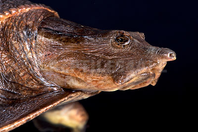 Aubry's flapshell turtle (Cycloderma aubryi)  photos