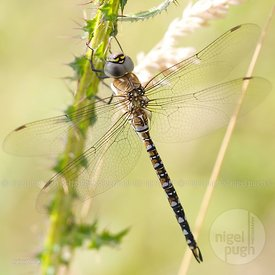 male migrant hawker: