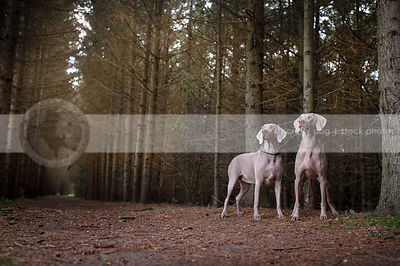 two grey pointers standing in pine forest