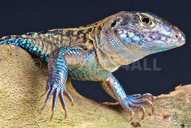 Teius teyou, Four-toed whiptail lizard,.Paraguay