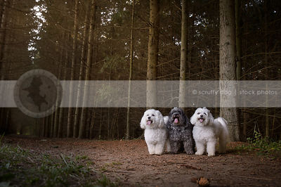 three little fluffy dogs posing in pine forest