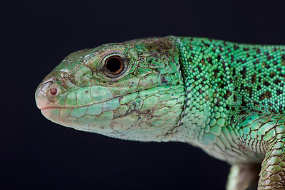 Caspian green lizard / Lacerta strigata photos