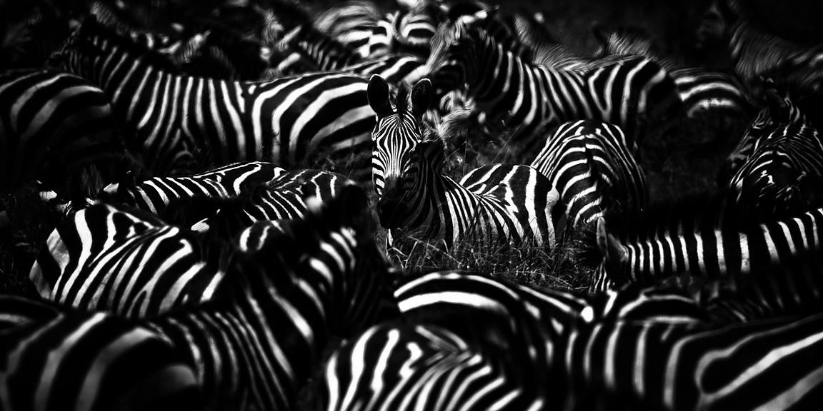 6014-Zebra-Alone_Tanzania_2007_Laurent_Baheux