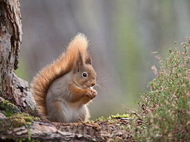 Red Squirrel Sciurus vulgaris Cairngorms National Park Scotland winter