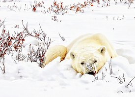 Kathy_s_snowy_polar_bear_sleeping