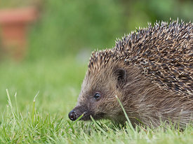 European Hedgehog Erinaceus europaeus at rescue centre in garden Norfolk
