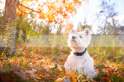 alert groomed white terrier sitting in autumn sunshine