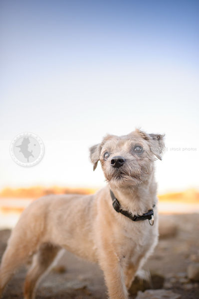 small blond terrier dog standing on beach under sky