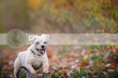 small joyful terrier dog running in autumn setting