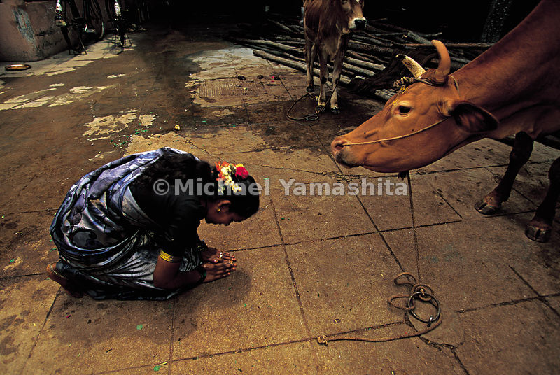 A woman bows to a cow, which is considered a sacred animal in the Hindu culture.