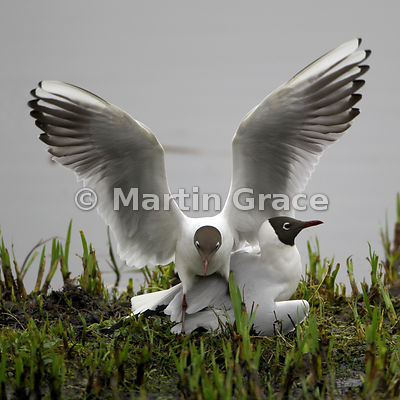 Clumsy landing - Black-Headed Gull (Larus ridibundus)
