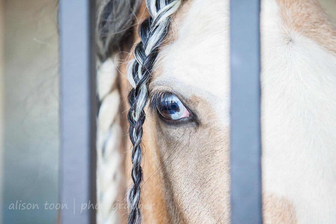 Blue-eyed gypsy horse