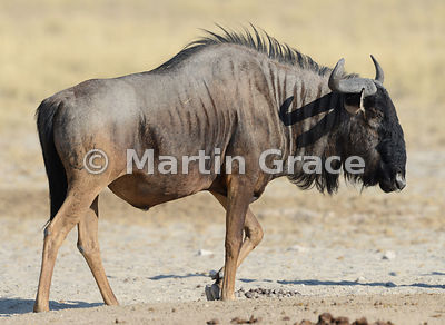 Blue Wildebeest (Conochaetes taurinus taurinus) with an injured left foreleg, Etosha, Namibia