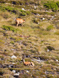 Flock of chamois (Rupicapra rupicapra) grazzing and resting in the slope of Pic de la Dona (2702 masl)