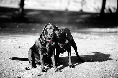 Sisterly Love - Labradorable Range.