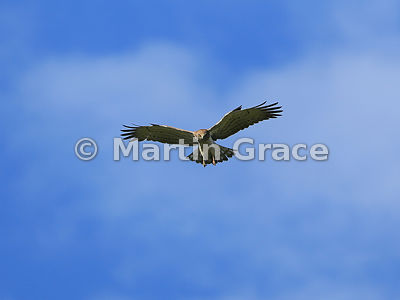 Short-Toed Eagle (Circaetus gallicus) in flight, Almaraz, Extremadura, Spain