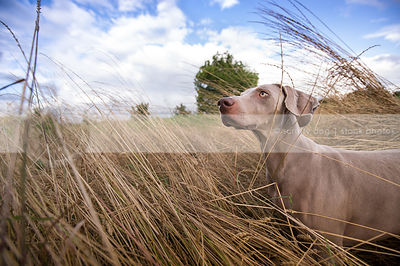 wideangle stock photograph of weimaraner in windy grassy field