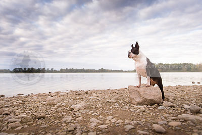 alert little dog perched on boulder at lake shore under sky with clouds