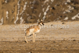 pronghorn_defecating