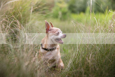 tan chihuahua dog sitting in tall meadow grasses