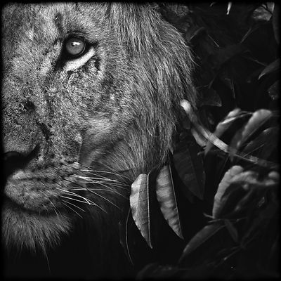 Panthera Leo photos
