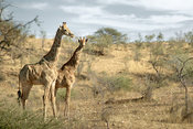 Giraffe female and cub