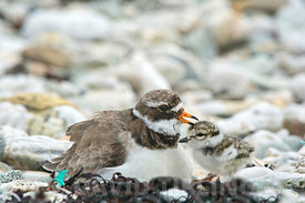 Ringed Plover Charadrius hiaticula adult female calling chicks over to be brooded on cold dat, Unst Shetland June