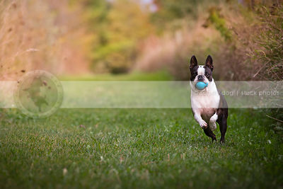 cute small black and white dog running with ball in grass