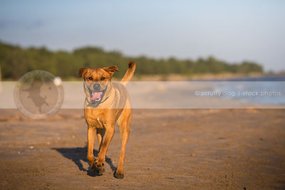 happy red dog running to camera on lake shore beach sand