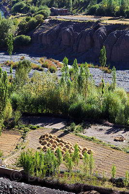 Wheat harvest along the Indus River near Hemis, Ladakh, India