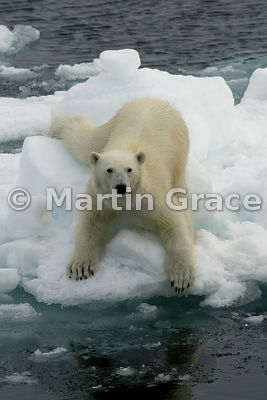 Polar Bear (Ursus maritimus) on an ice floe, Storfjorden, Svalbard