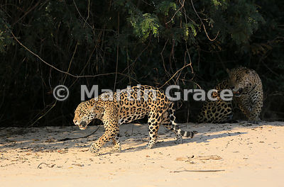 Sunlit female Jaguar (Panthera onca) 'Hunter' walks past her mate 'Hero' who is lying in the shade, Three Brothers River, Northern Pantanal, Mato Grosso, Brazil. Image 23 of 62; elapsed time 38mins