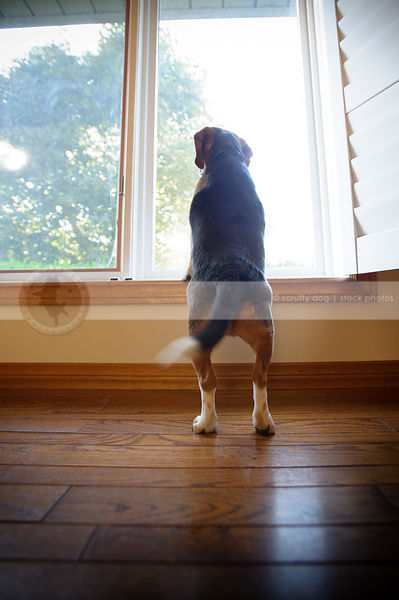 tricolor dog from behind on two legs looking out window indoors
