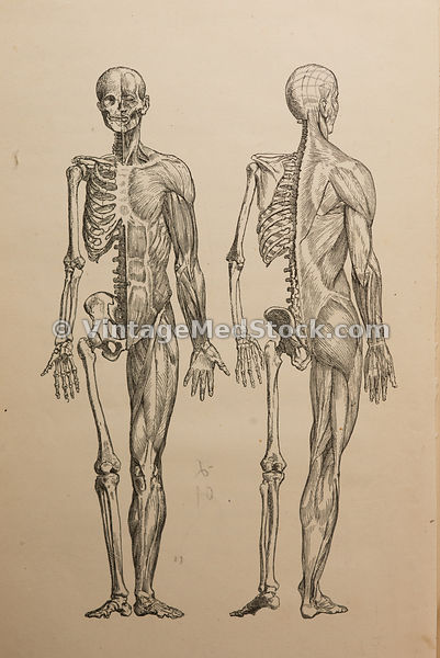 Full body muscles & skeleton illustration