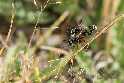 Thick-headed flies (Conopidae) photos