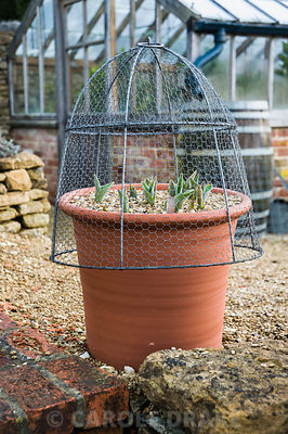 Pots of tulips mulched with gravel and covered with wire cloches to protect from mice attack. Old Rectory, Netherbury, Dorset, UK